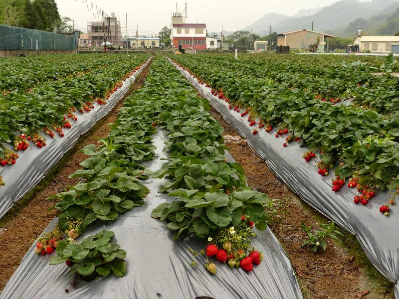 Miaoli county. Nanzhang puis Dahu la capitale de la fraise... - P1050229.JPG