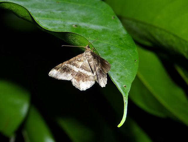 Geometridae, Ennominae : Chiasmia sp. Bobiri Forest (Ghana), 1er décembre 2013. Photo : J.-F. Christensen