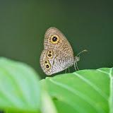 Ypthima baldus (Fabricius, 1775). Weda, Halmahera, Maluku (Indonésie), 29 août 2014. Photo : T. Boucher