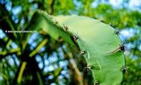 Aloe indica