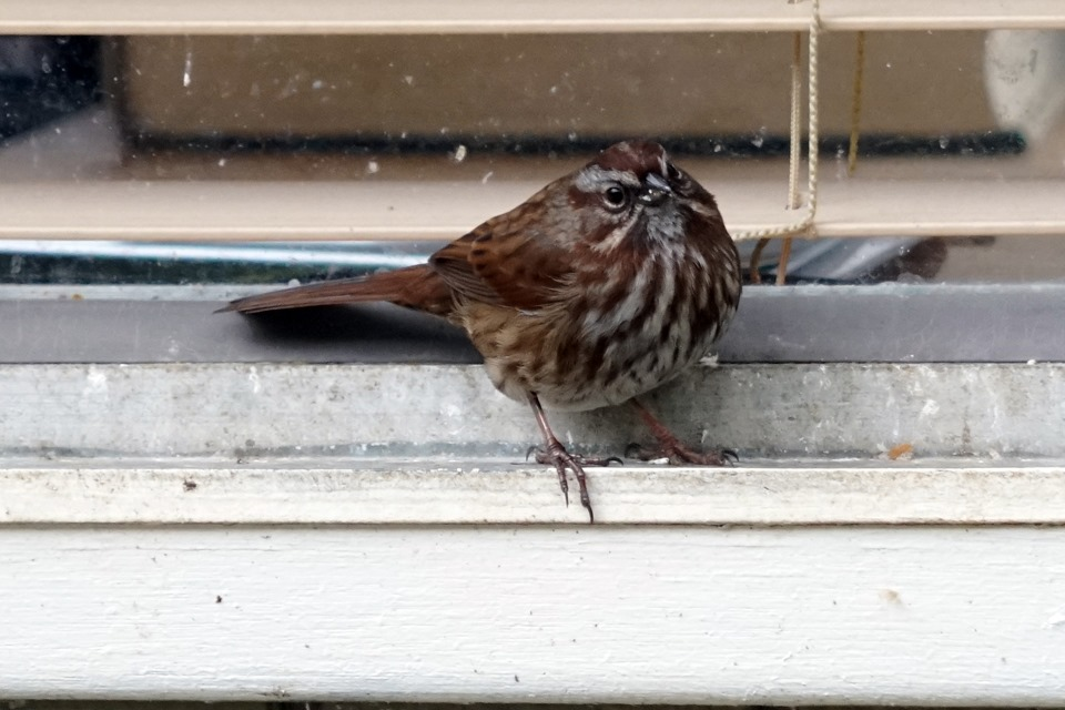 [lopez+song+sparrow+030818+00001%5B4%5D]