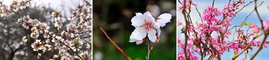 Февраль – начало марта. Цветет миндаль и иудино дерево (церсис европейский). Национальные парки Канада и Кохав а-Ярден. Гид в Израиле Светлана Фиалкова.
