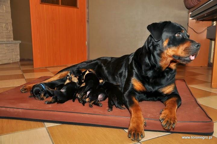 Piękne szczenięta rottweiler