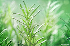 Rosemary plant and its amazing health Benefits on the Skin
