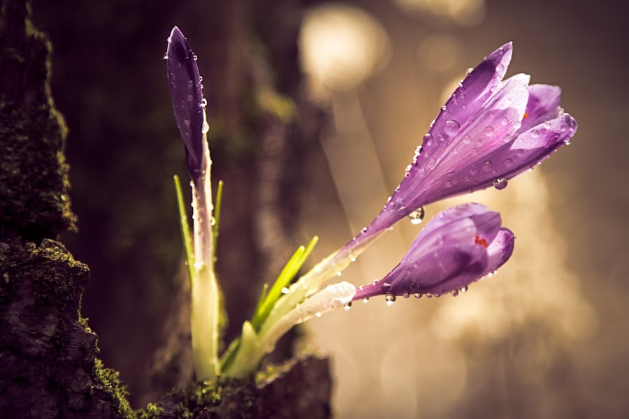 Reaching out for light by Zdravko Horvat - Nature Up Close Flowers - 2011-2013 ( dew, crocus, drops, bokeh )