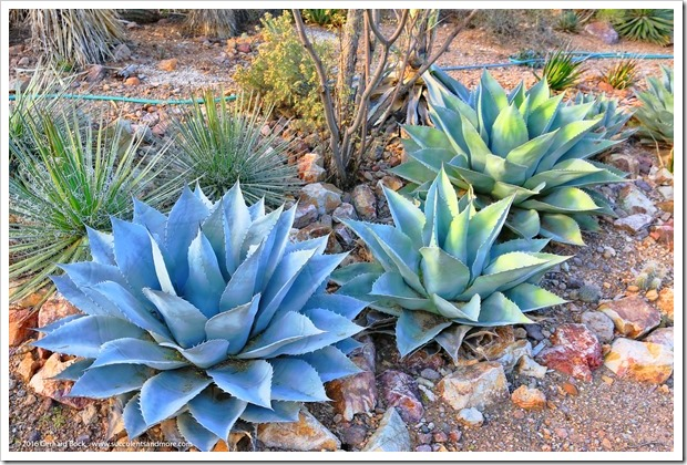151229_Tucson_GregStarr_Agave-ovatifolia_0004