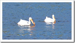 American white pelican, Yellowstone May 2016