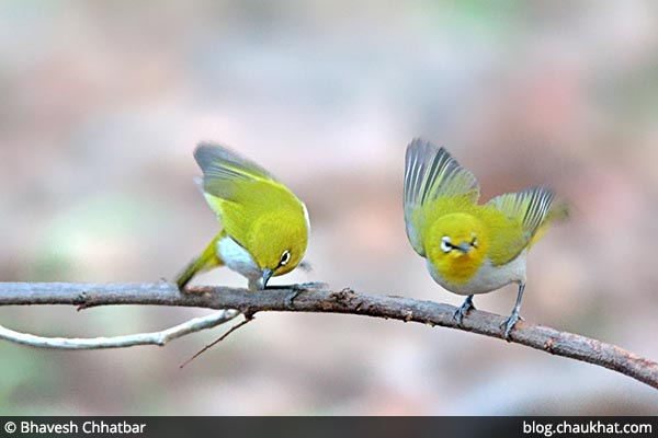 Oriental White Eye in action!