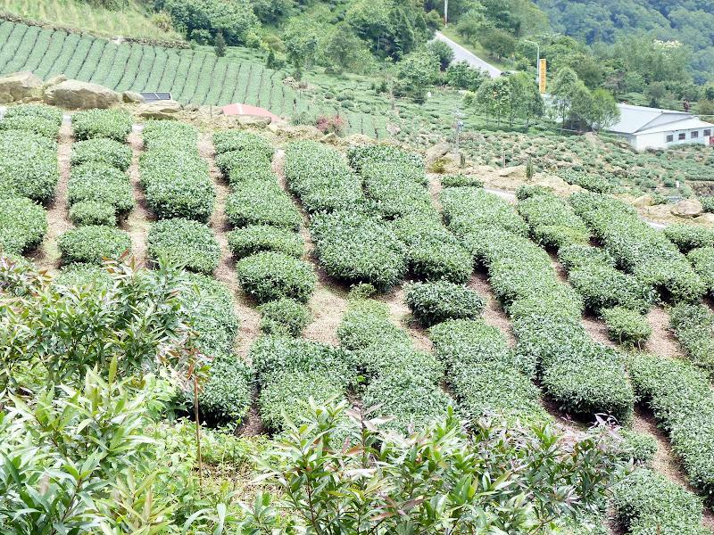 TAIWAN  Dans la region d ALISHAN - P1130884.JPG