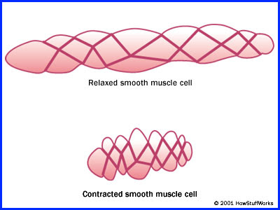 doctors gates: smooth-muscle cells compared to skeletal muscle, Muscles