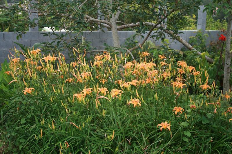 Futur jardin d'orchidées!!! IMG_3514