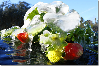 Strawberries in the cold, picture from Google Images