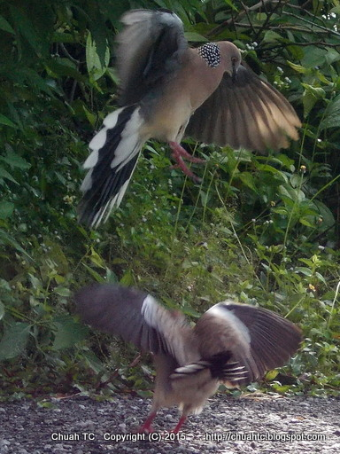 Spotted Doves Fighting - Jumping Up, Outstretch Wings