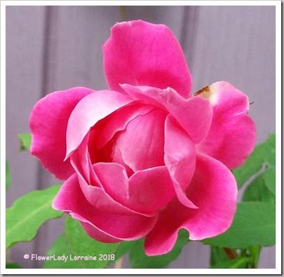 02-03-carnation-rose
