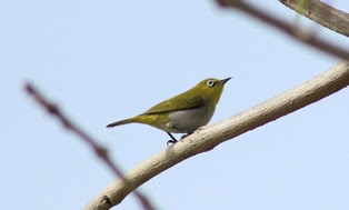 27-Jun-2015 Oriental White-eye (Pic: Madhurima Das)