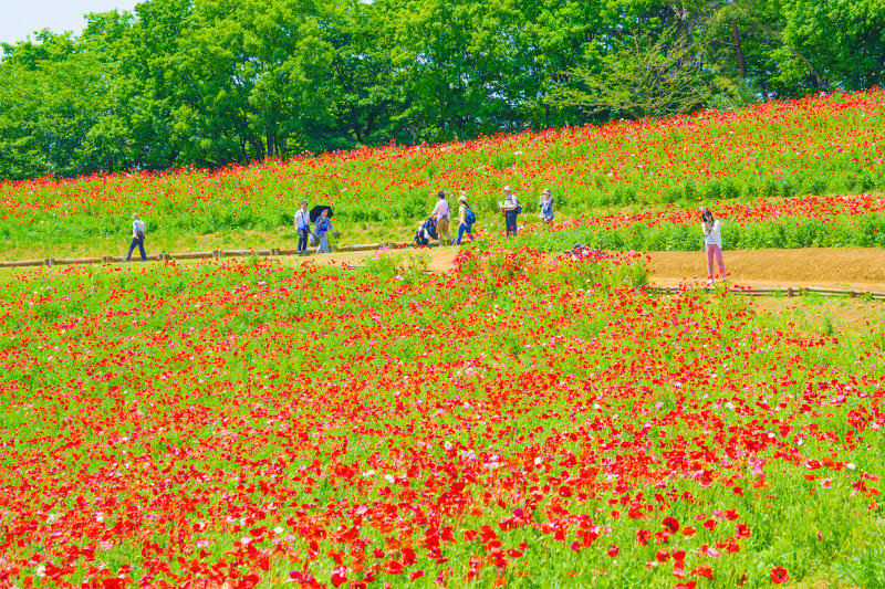 Showa Kinen Park Shirley poppy photo5
