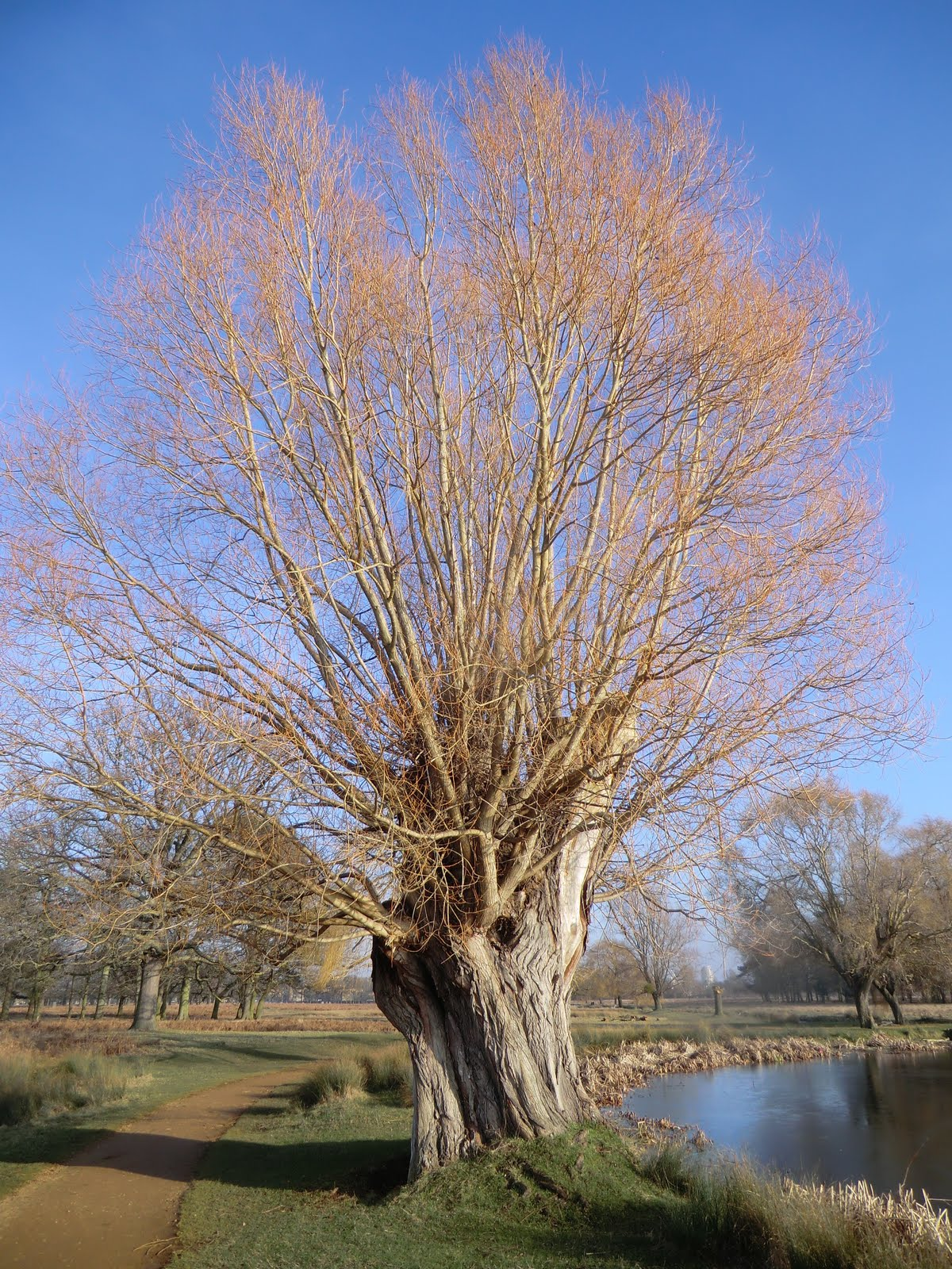 CIMG6456 Pollarded willow tree, Bushy Park