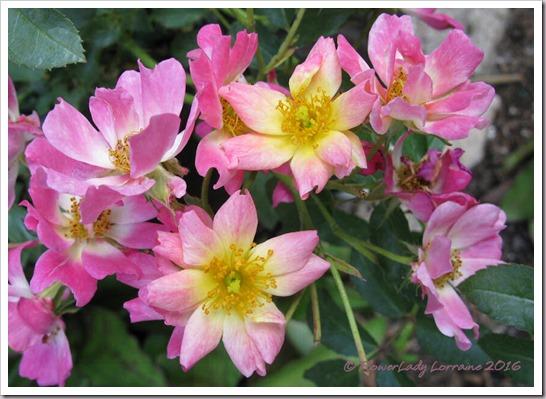 05-02-pink-drift