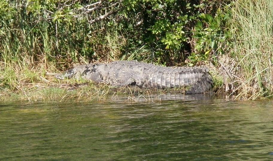 Questões e Fatos sobre Crocodilianos gigantes: Transferência de debate da comunidade Conflitos Selvagens.  - Página 2 Croc2