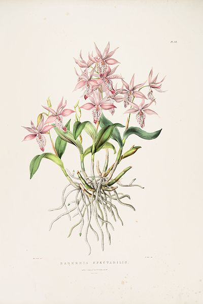 Растения из Тюмени. Краткий обзор Barkeria_spectabilis