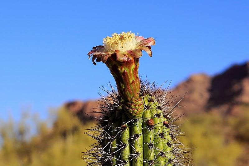 Цветок органного кактуса