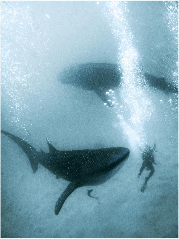 Requin baleine. Photo prise par mon copain Pékinois Kai, avec lequel j'ai plongé, et frôlé ces créatures.