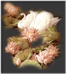 cisnes-buscoimagenes-17_thumb