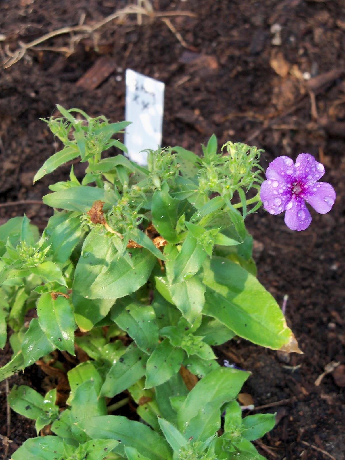 Gardening 2011 - 100_6845.JPG