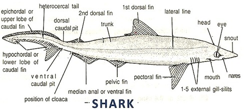 cartilaginous-fish-shark