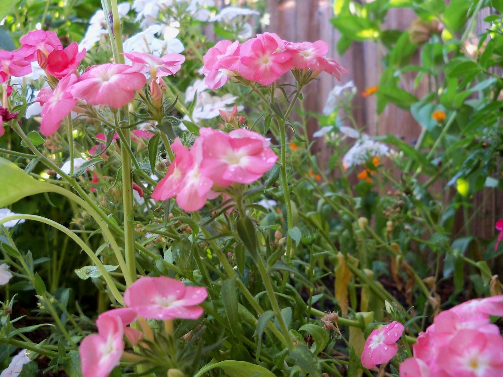 Gardening 2012 - 115_2652.JPG