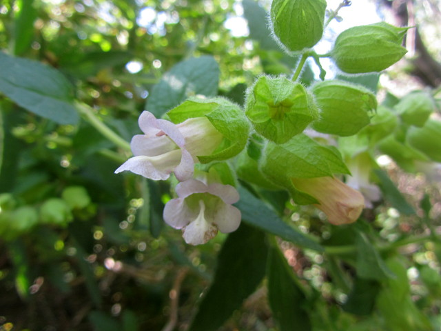 what appears to be a sage with very large, white flowers