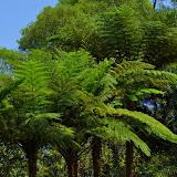 Fougères arborescentes près de Kuring-gai, New South Wales (Australie), 20 février 2009. Photo : Barbara Kedzierski