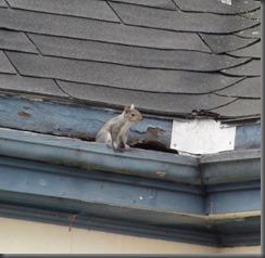 Squirrels enter through flashing and Fascia