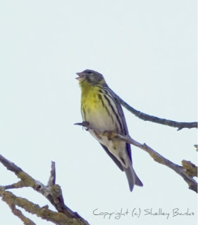 Serin.Carassonne. Copyright © Shelley Banks, all rights reserved.