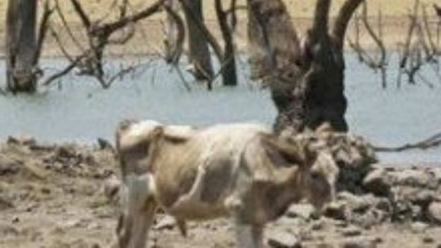 Starving cattle in Tabasco, Mexico in June 2016. Severe drought and heat have killed 45,000 cattle so far this year. Photo: @alfreara / Televisa News
