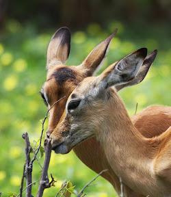 Impala Does, Zambia
