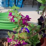 Gardening 2011 - 100_9295.JPG