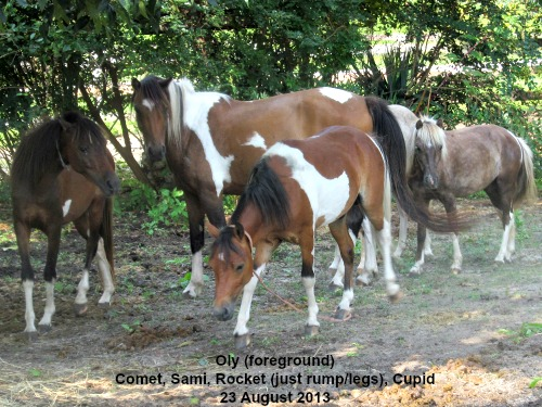 Comet, Oly & Sami are bay tobianos. Cupid is a silver tobiano.