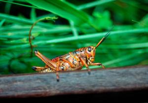 ialah serangga herbivora dari subordo  Fakta unik dan menarik wacana belalang