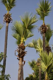 palmier à sucre 2.JPG