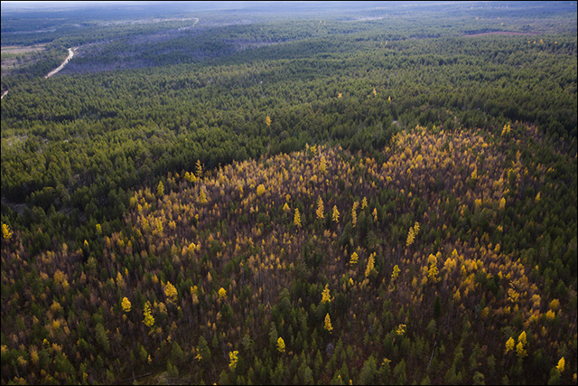 Forest affected by wildfires of 2012 near ZOTTO tower, Krasnoyarsk region of Siberia. Deciduous trees are replacing confiers, threatening the tree balance of the boreal forest. Photo: Vera Salnitskaya