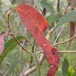 Eucalypt Leaf (28661)