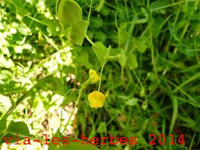 gesse aphaca Lathryrus aphaca.jpg
