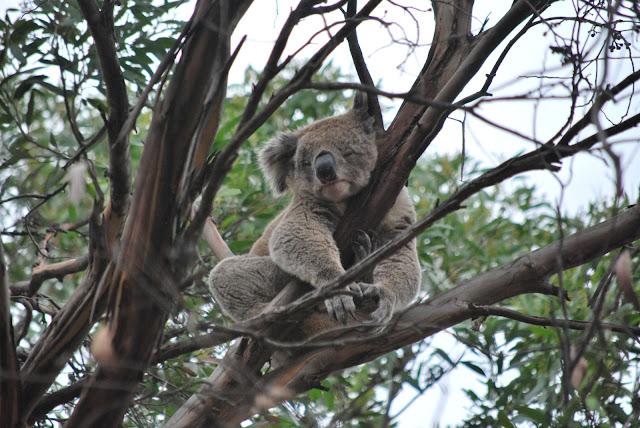 Koala, just chillin'