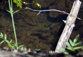 A trout waits on feeding station in a small stream of the Little Colorado drainage