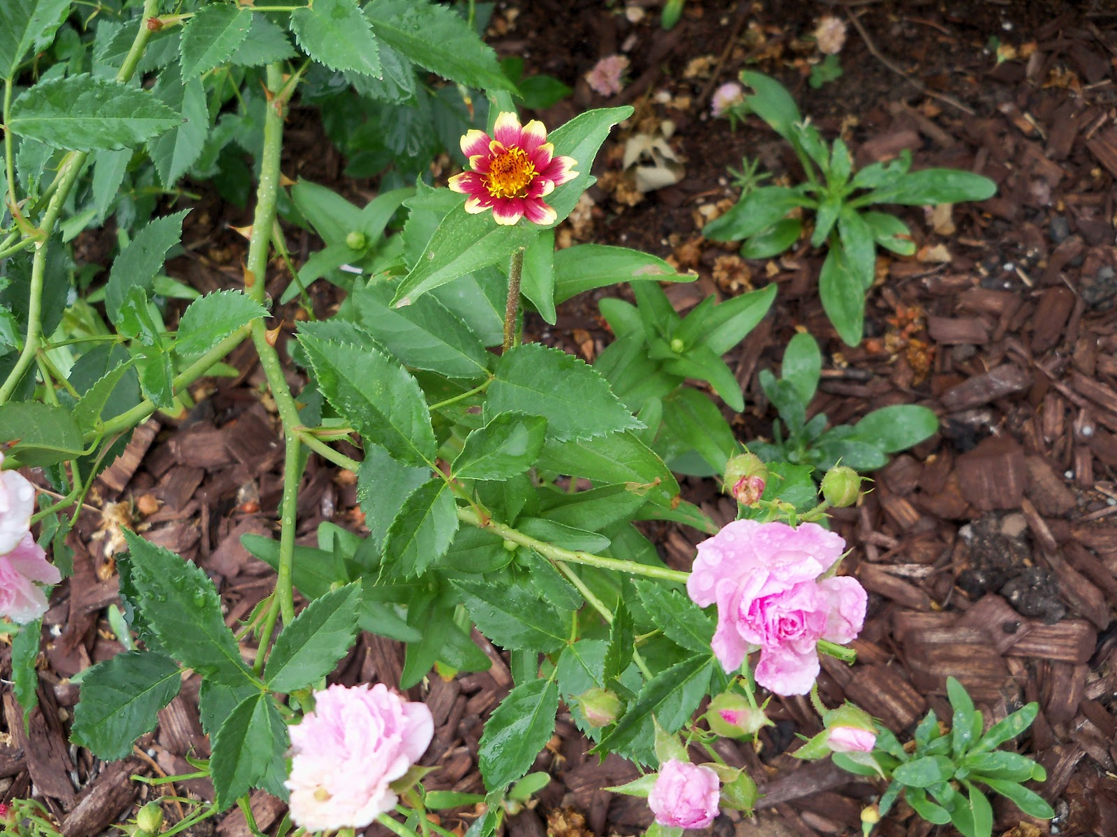 Gardening 2010, Part Two - 101_2118.JPG