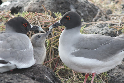 Paul Anderson - Swallow-tailed Gull, Galapagos