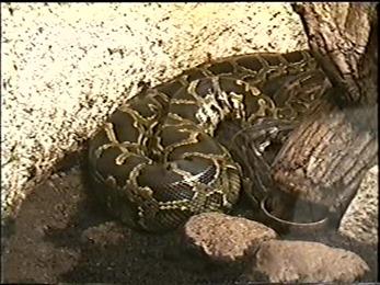 1995.06.16-016 python molure