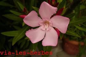 laurier rose1.jpg