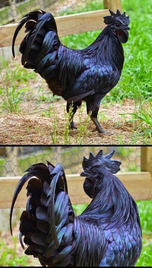 Foto Ayam Cemani, Ayam Angka Serba Hitam Luar Dalam | liataja.com